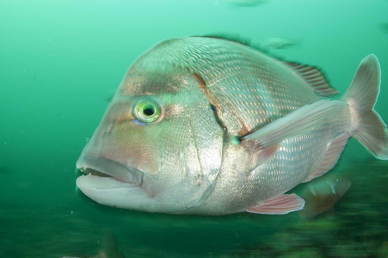 stilbaai-marine-protected-areas-south-africa-steve-benjamin-dageraad-fish_web.jpg