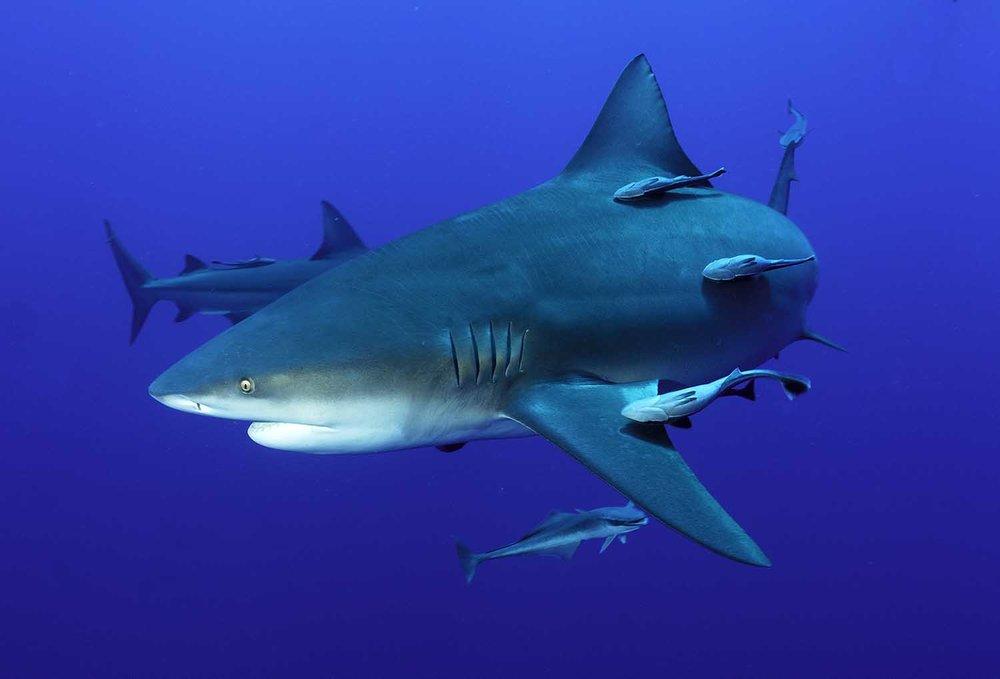 protea_Bull+shark_web.jpg
