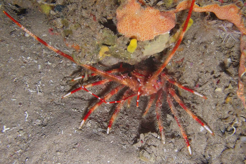 protea-banks-lobster-rov.jpg