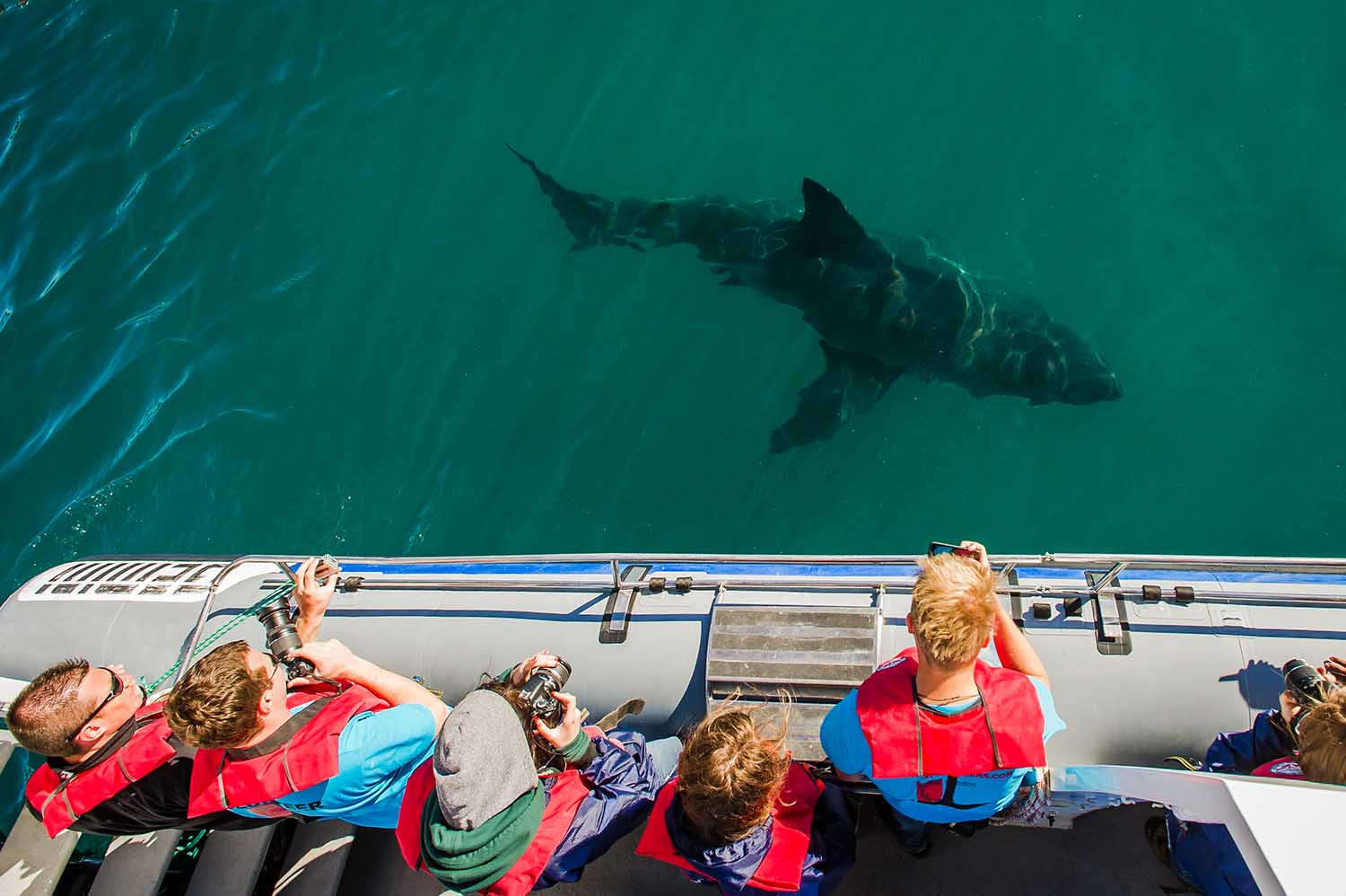Shark watching is a major tourist attraction (Peter Chadwick)