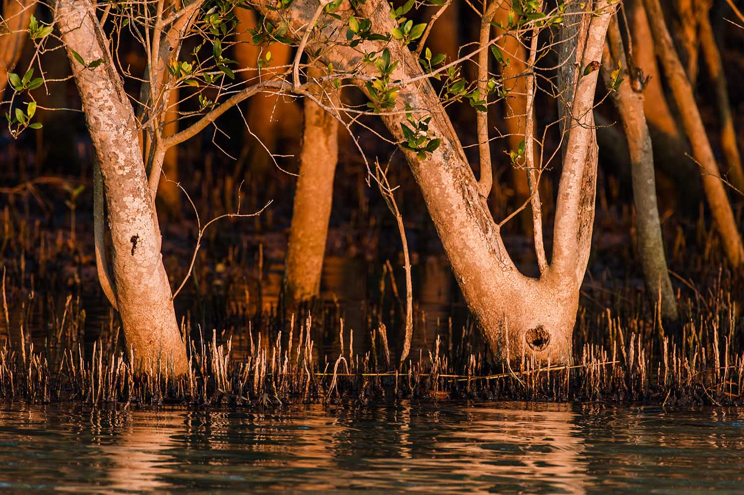 Mangroves are important nursery areas for fish and sharks (Peter Chadwick)