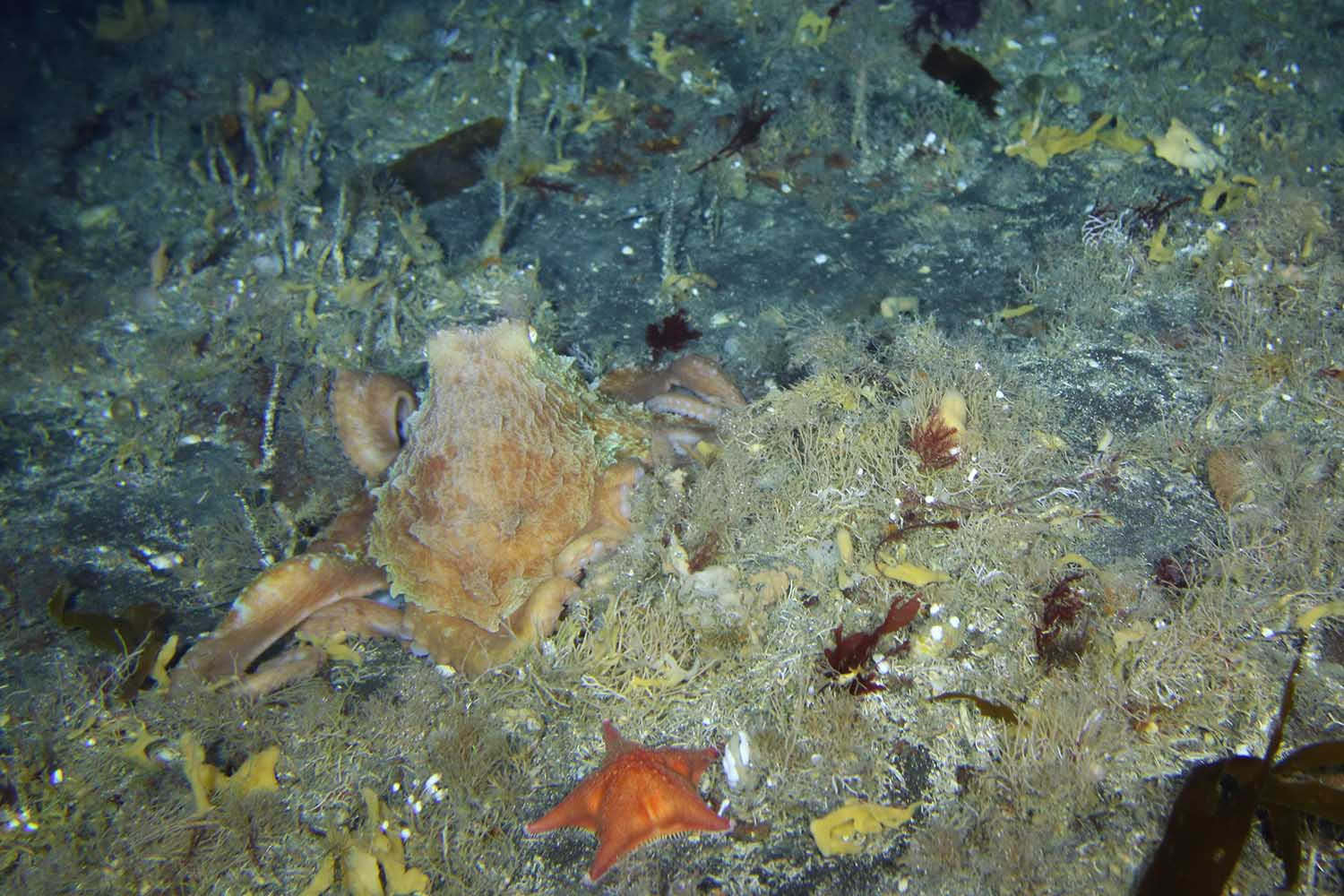An octopus at 114m on the island shelf (Grant van der Heever)