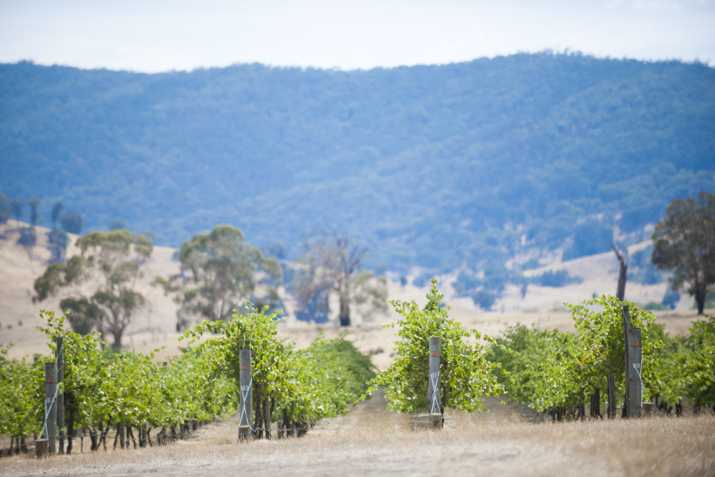 Decameron vines - in the foothills of Victoria's Pyrenees ranges