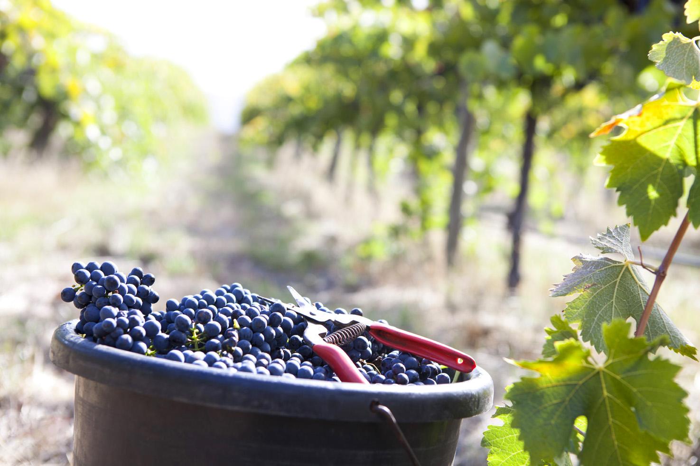 Harvesting-grapes.jpg