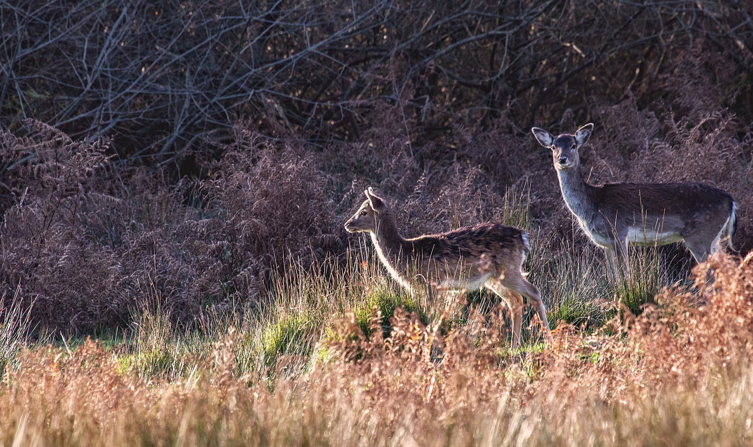 forest deer.jpg
