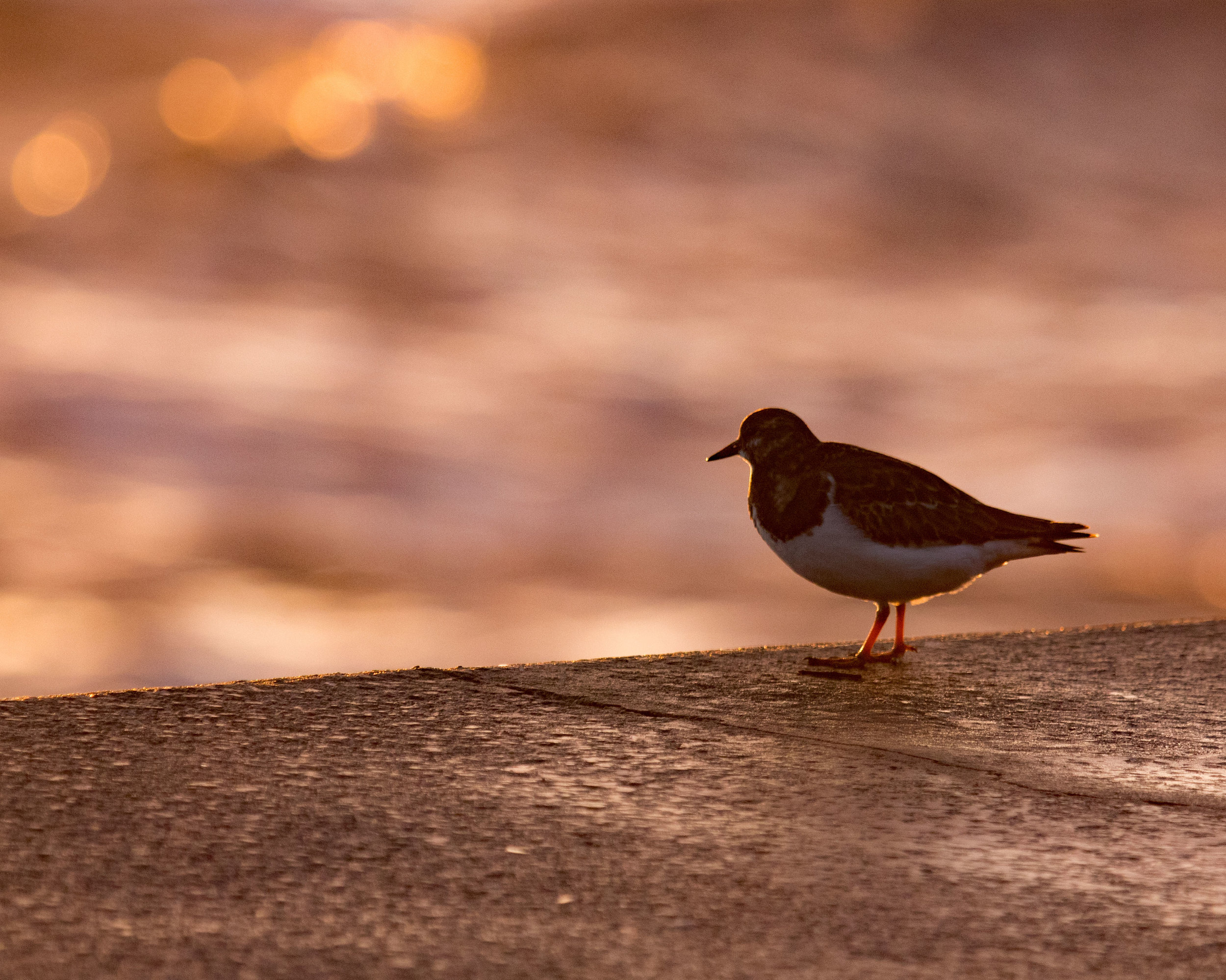 Turnstone in a Scarborough Sunrise