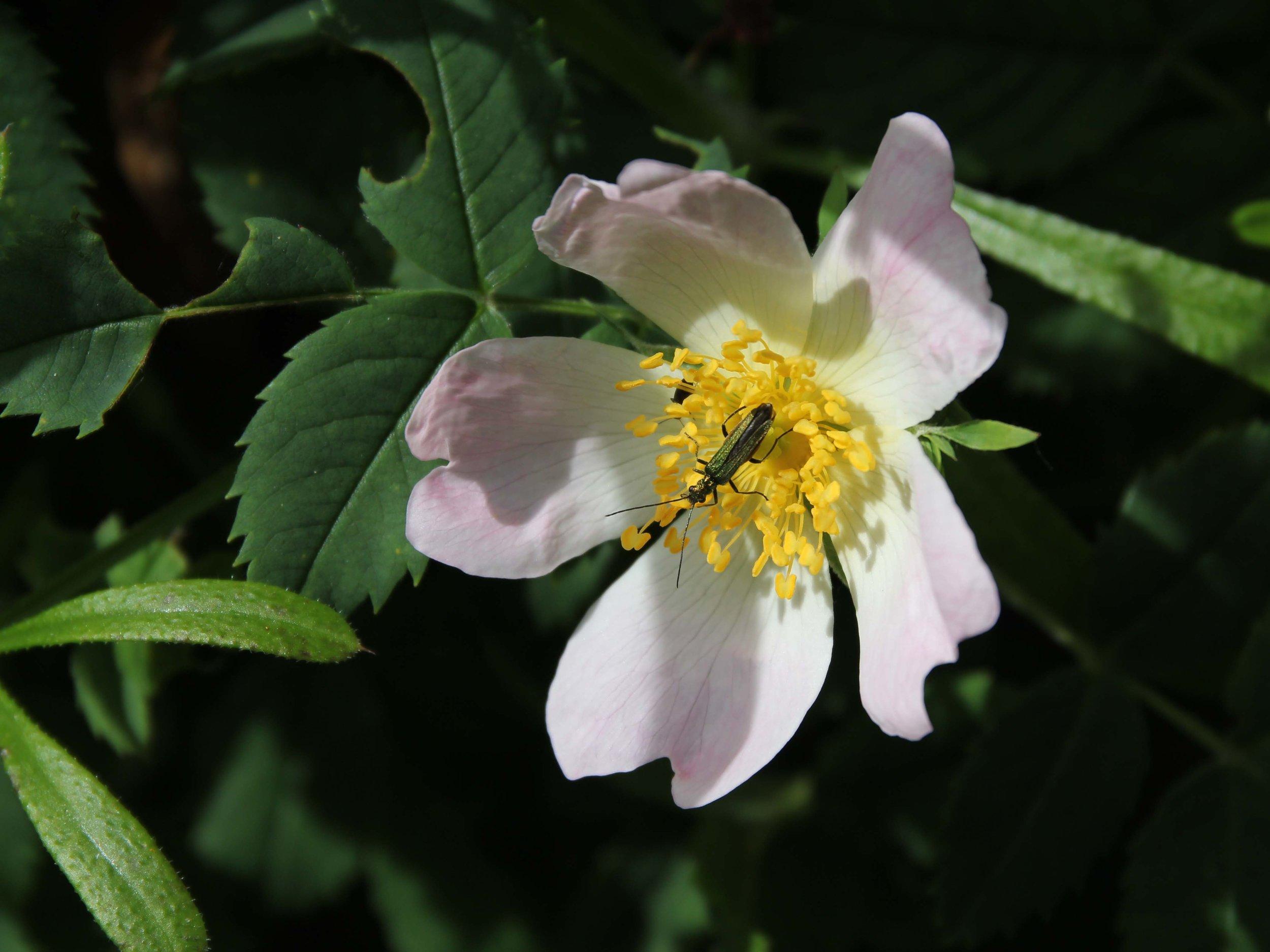 pollen feeding beetle