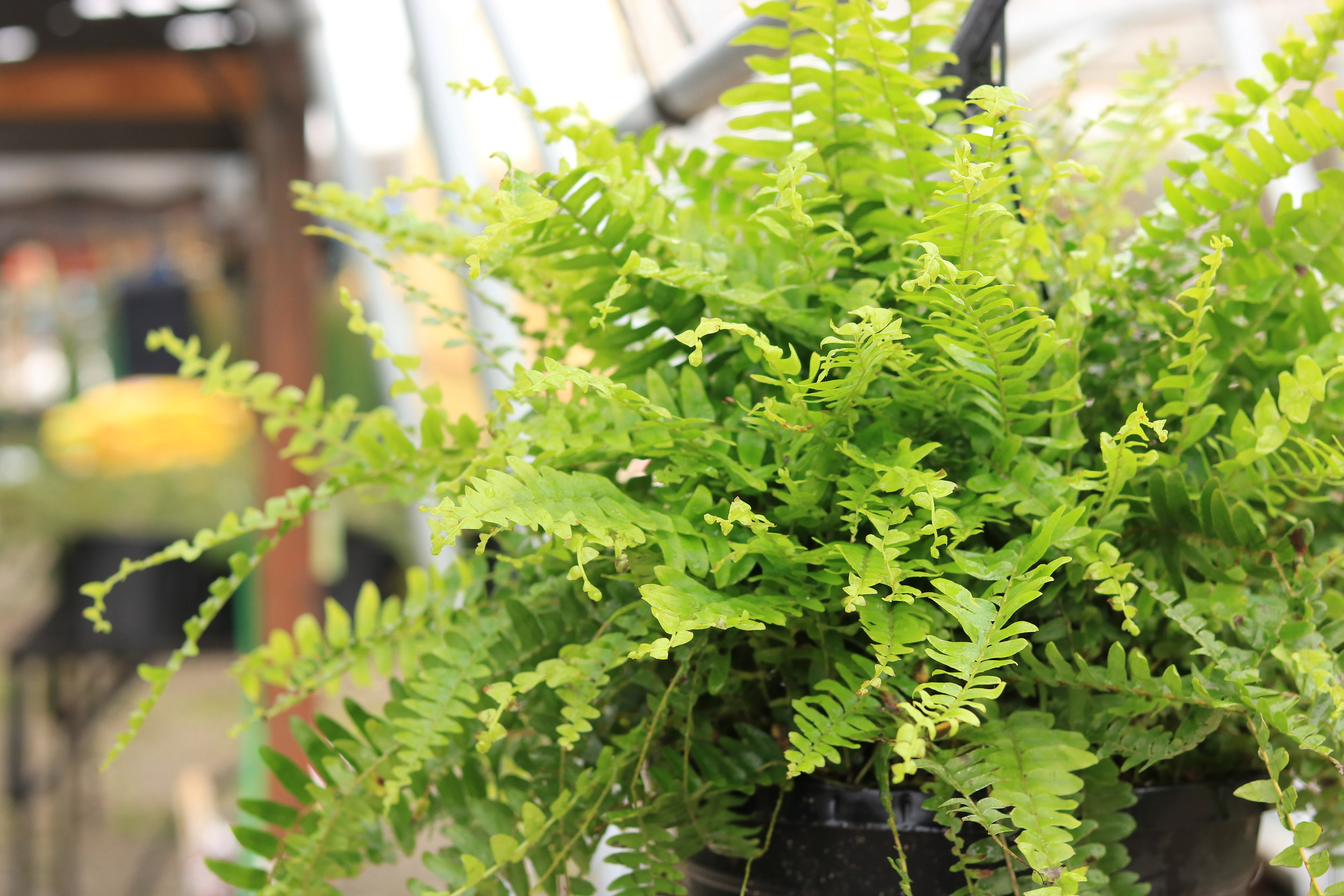 Ferns - Give them an $80 gift card so they can pick out 4 Ferns