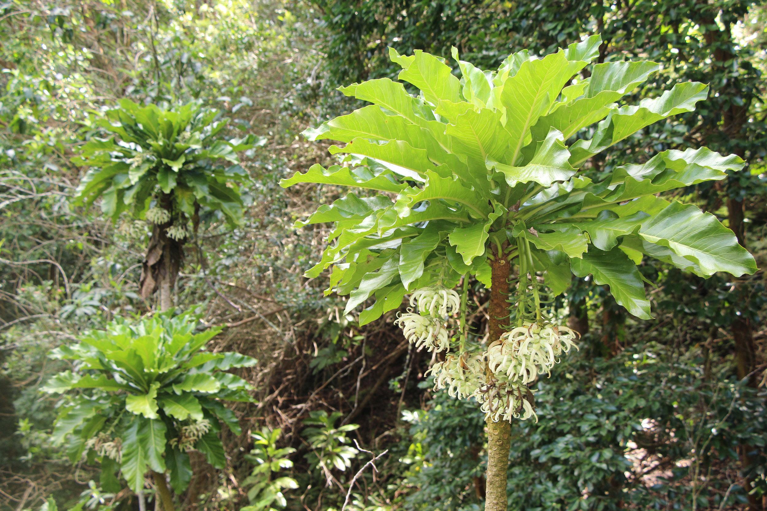 Hāhā tree