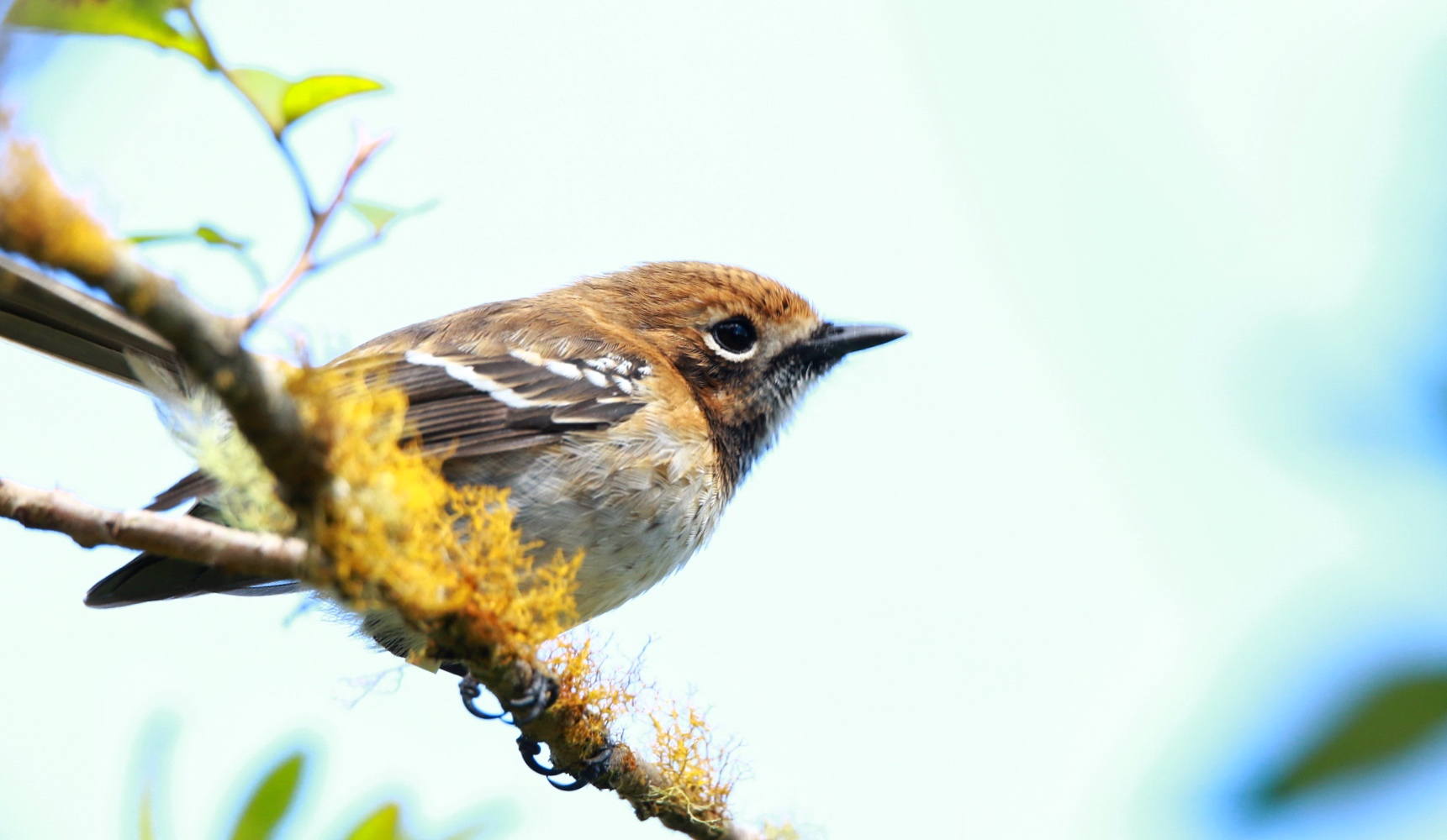 Oʻahu ʻElepaio - monarch flycatcher