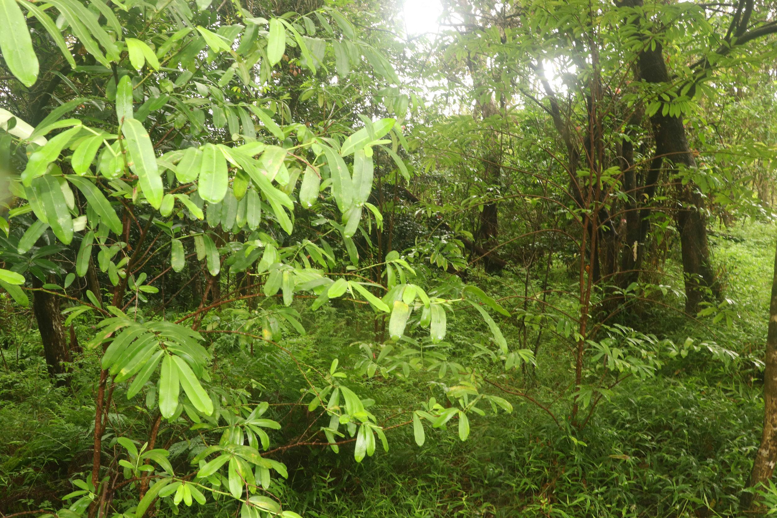 ʻAkoko tree