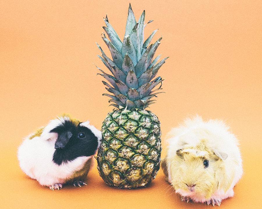 pineapple-guinea-pigs-sm.jpg