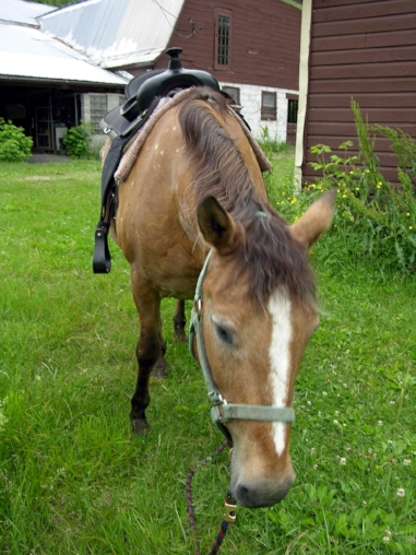 SONNY - excellent lesson horse;  knows just what to do in the arena; excellent trail horse; short legs and faster steps