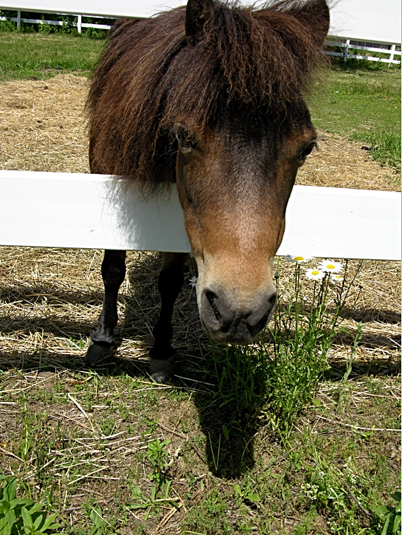 """BROWNIE - petite princess! very gentle; loves """"beauty shop"""" treatment; excellent for pony rides"""