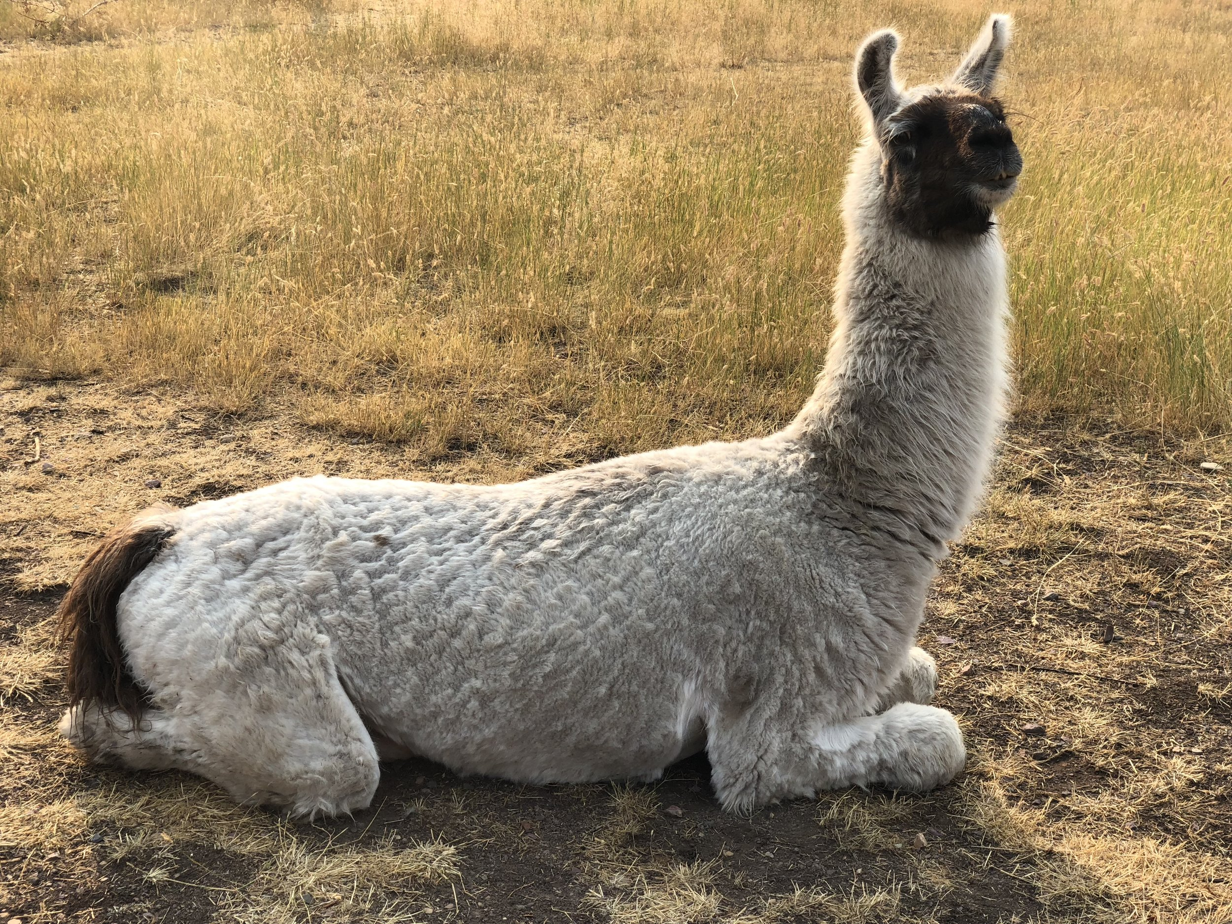 A resident of the llama Ranch