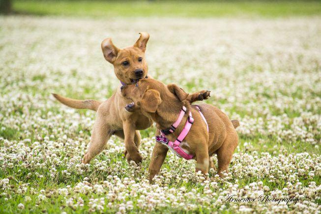 dogs playing.jpg.653x0_q80_crop-smart.jpg