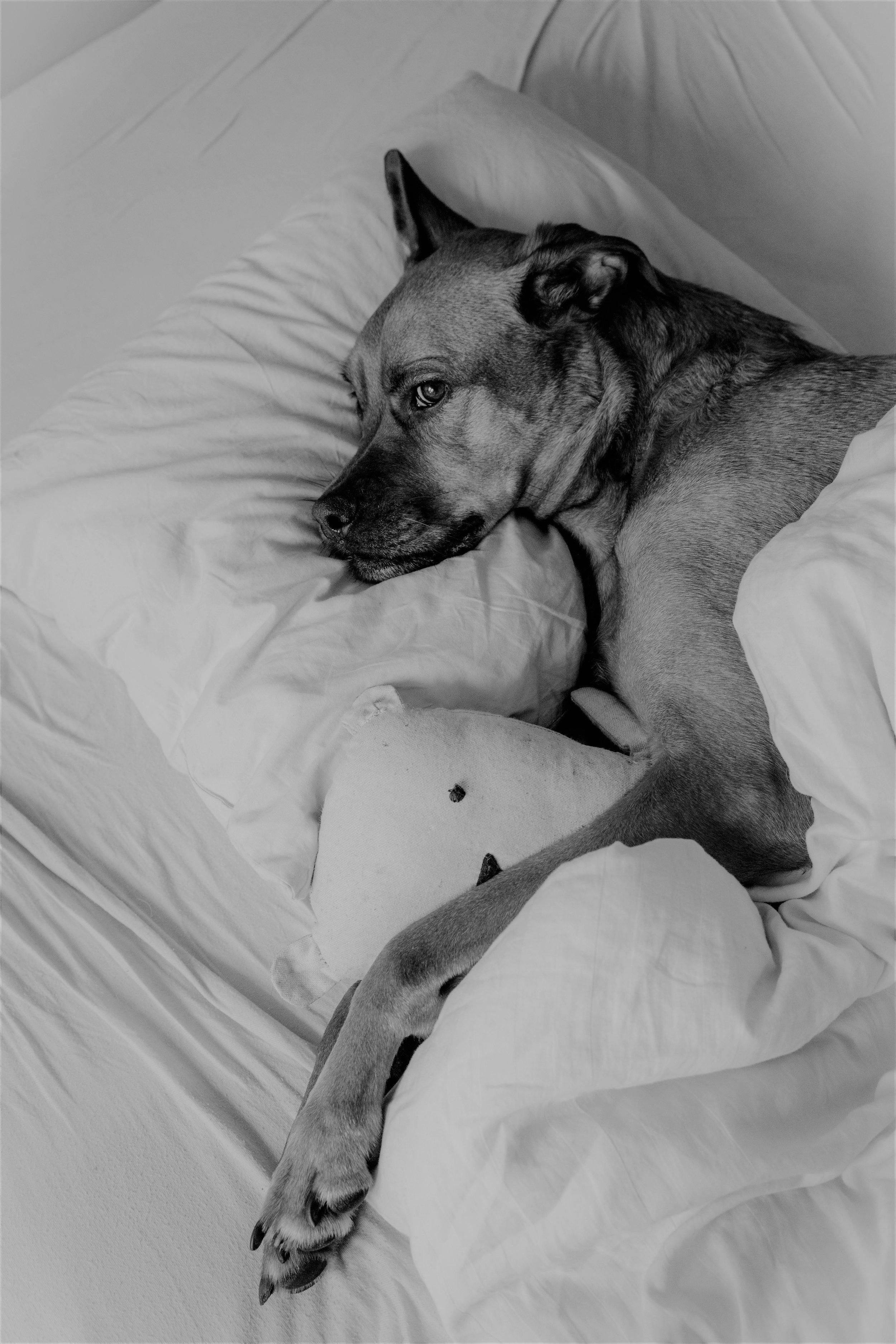 Dog in Bed.jpg