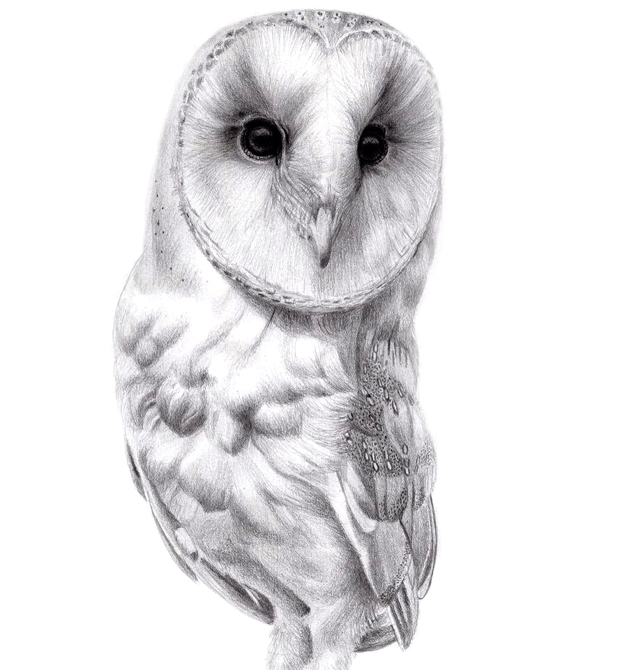 Barn owl study , 2017, graphite on paper, 29x42cm.