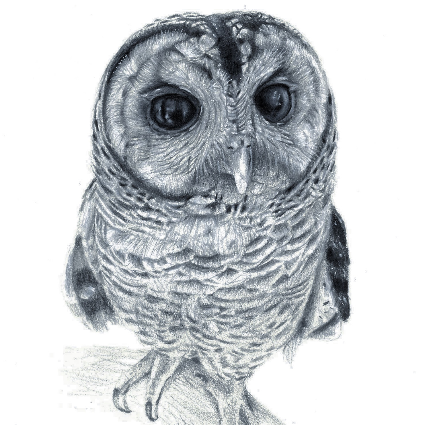 Chaco owl study , 2017, graphite on paper, 25x35cm.