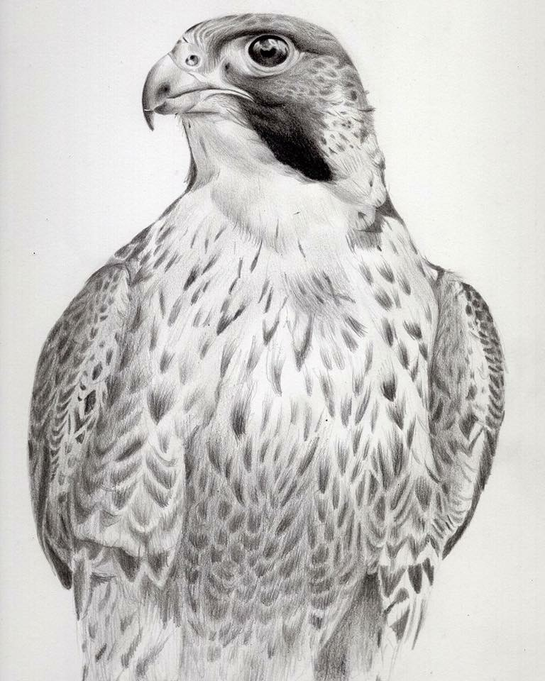 Peregrine falcon study,  2017, graphite on paper, 29x42cm.