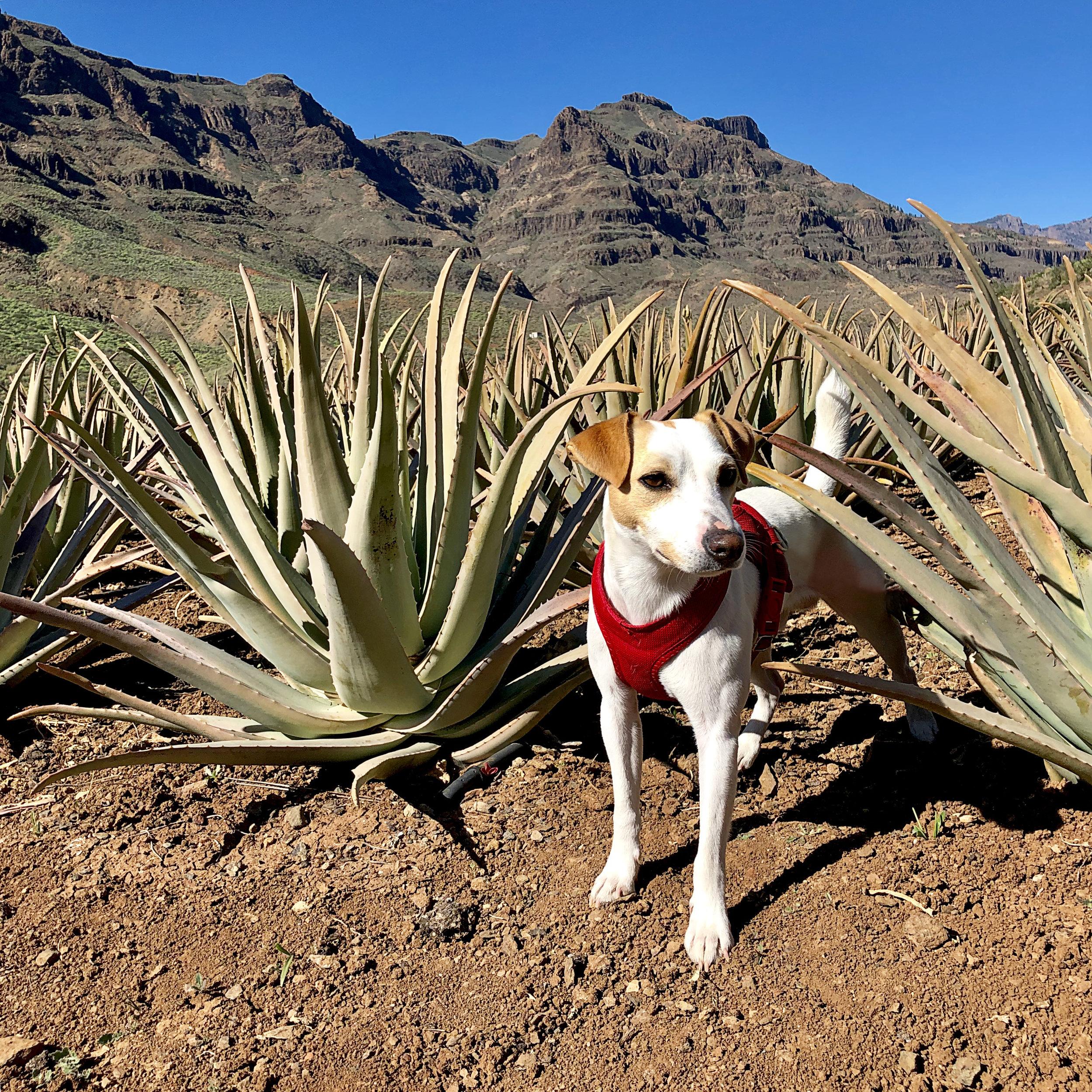 Pipper in the aloe vera fields of Gran Canaria.