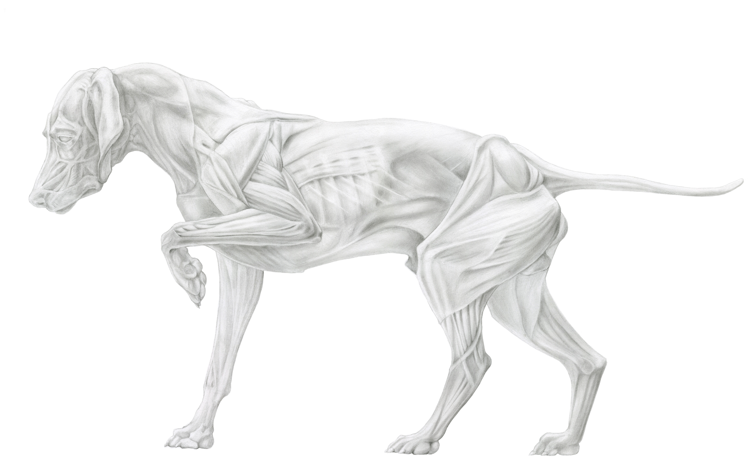 Muscular Anatomy of a Hound Dog