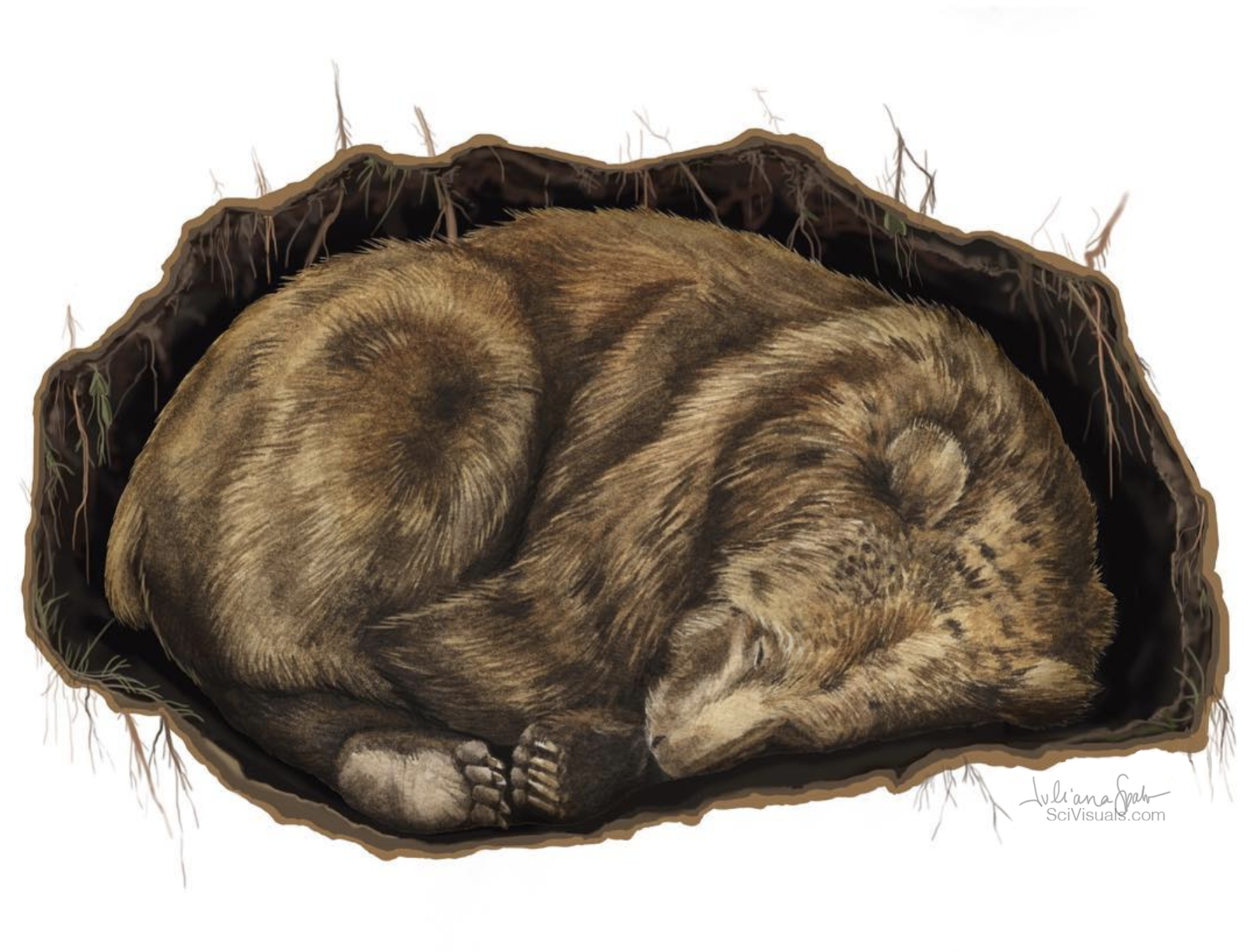 Ursus arctos in Hibernation