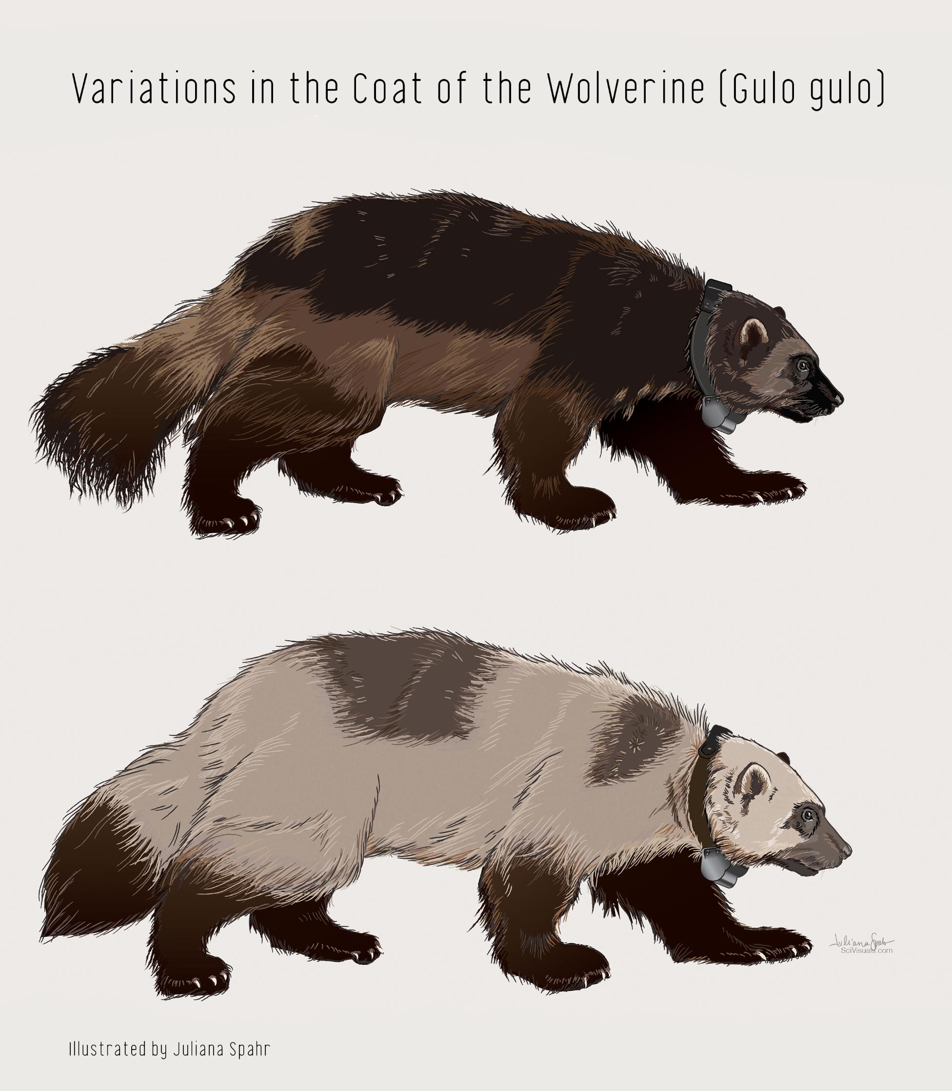 Studies of Wolverine Fur