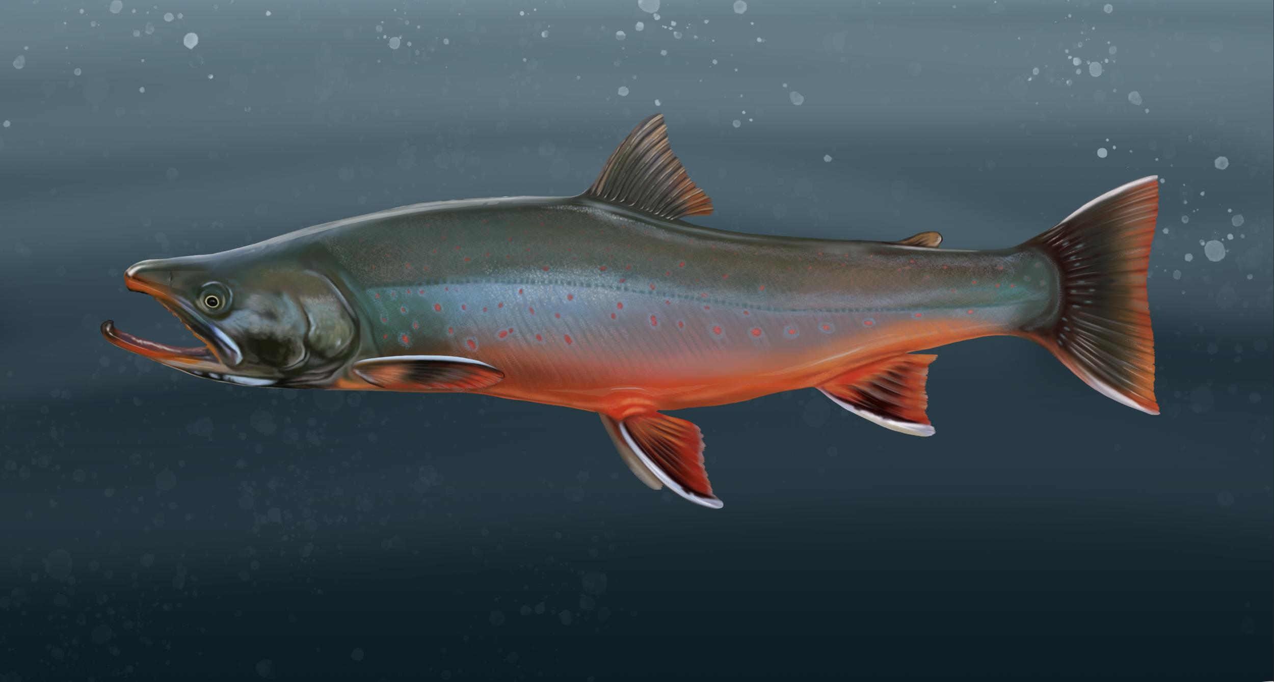 The Dolly Varden Trout