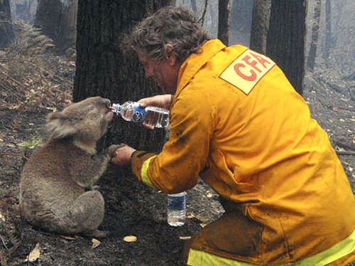 Australian firefighter gives water to a thirsty koala during their recent forest fires.