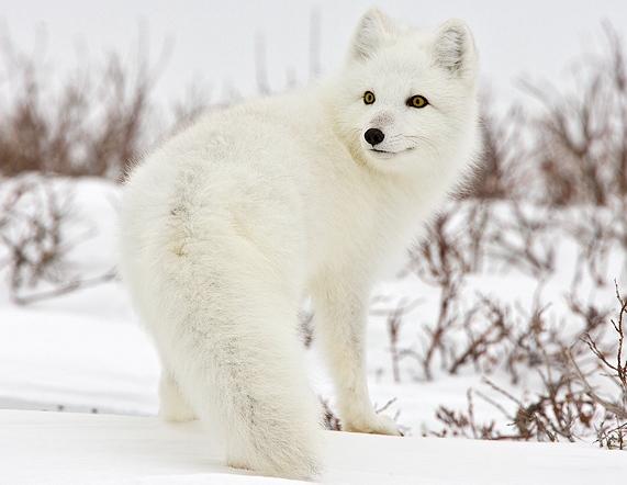 arctic-fox-canada.jpg