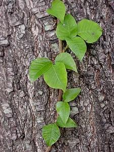 ivy-225x300.jpg