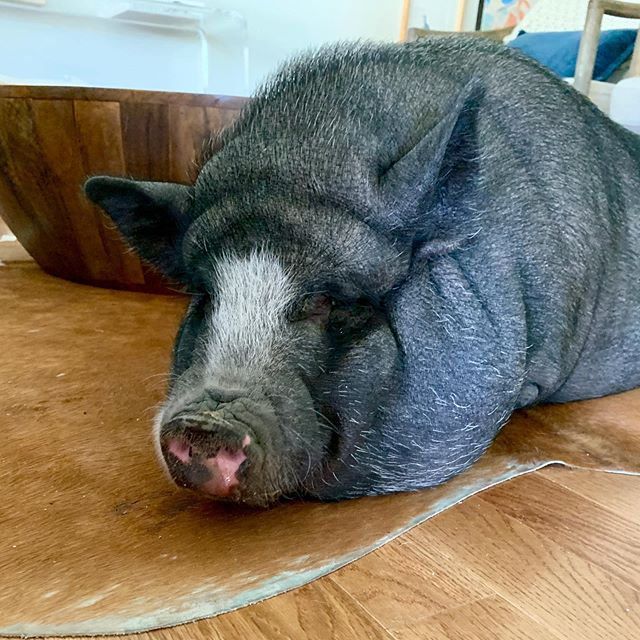Harriet - You can find me stealing my doggo sister's bed, or shaking with my hoof for a snack. #smartpig . . . #potbellypig #piglife #pigsofatx #pigsofig #pig #austinpigsitter #austinpetsitter #pigsofinstagram #pigsofaustin