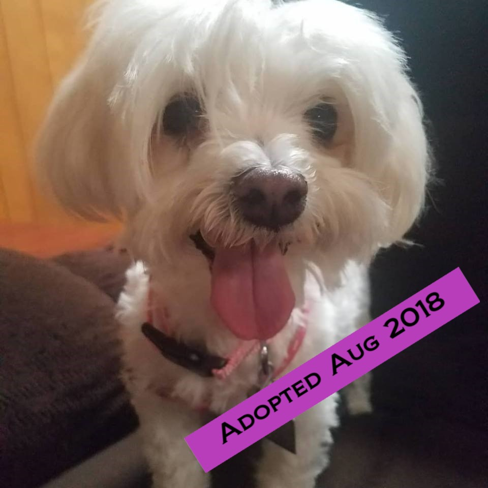 Izzy - Izzy is a 6yr old Maltese Mix that we rescued from Kern County Animal Services on July 10, 2018. She was seized by animal control after witnessing the homicide of her human mommy. She was scared but has come out of her shell and introduced us all to her amazing personality. She gets along with dogs and cats of all sizes and loves to be with people. She will be a great addition to a lucky family.