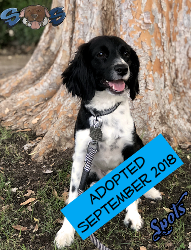 Spots - Spots is about 2yrs old and came to us from The City of Bakersfield Animal Care Center. He is just a little guy but looks like a miniature Border Collie. He gets along with other dogs as well as people.