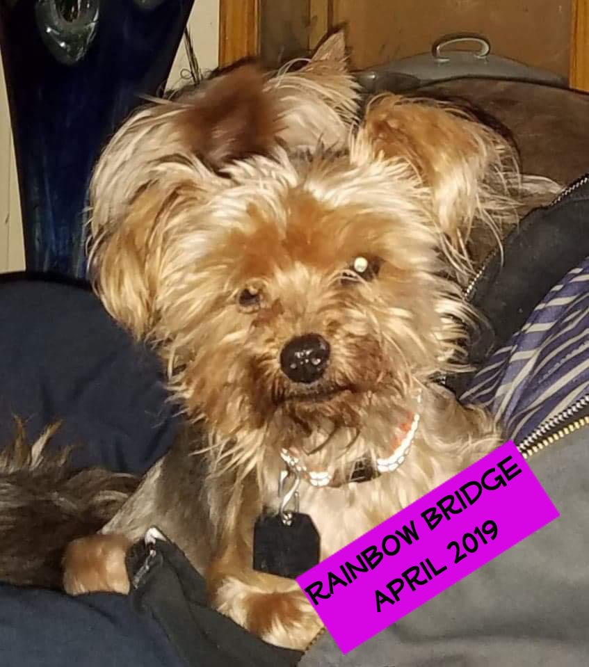 Sally - Sally came to us on January 22, 2019 from the City of Bakersfield Animal Care Center. She was picked up as a stray completed matted and terrified. Sally is an 11 year old Yorkie who is both sweet and sassy. Upon her initial vet visit they discovered a tumor on her heart that is most likely cancerous. Due to her age and risk surgery is not an option for Sally. She is currently in Fospice learning to trust again and enjoying day to day life. If you would like to give Sally a forever home for what time she has last, which is unknown at this time, let us know. In the meantime she is safe, comfortable and loved with us :)
