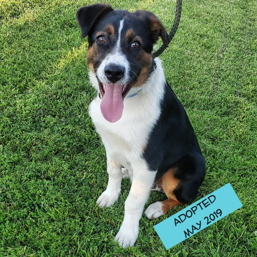 sailor j - Sailor came to us on April 12, 2019 from Kern County Animal Services. He was about 10-11 weeks old.Note from Foster Mom:Meet Sailor J!! This approximately 11 week old puppy is going to be a big boy! Believed to be a Bernese Mountain Dog mixed with a short coat Border Collie, there's no telling how long he was wandering through the fields in East Bakersfield. A good samaritan picked him up and took him to Kern County Animal Services where a plea was sent out for rescue. We were fortunate enough to have a foster available in the area and he became an SOS dog April 12th. Sailor currently is being fostered on a mini ranch where he has been interacting daily with other dogs, cats, livestock, and children. He is a well rounded puppy that will make an amazing addition to any household. When not running and playing with the other dogs he spends his time lounging in the sun. Sailor is kennel/crate trained and does well indoors and out.