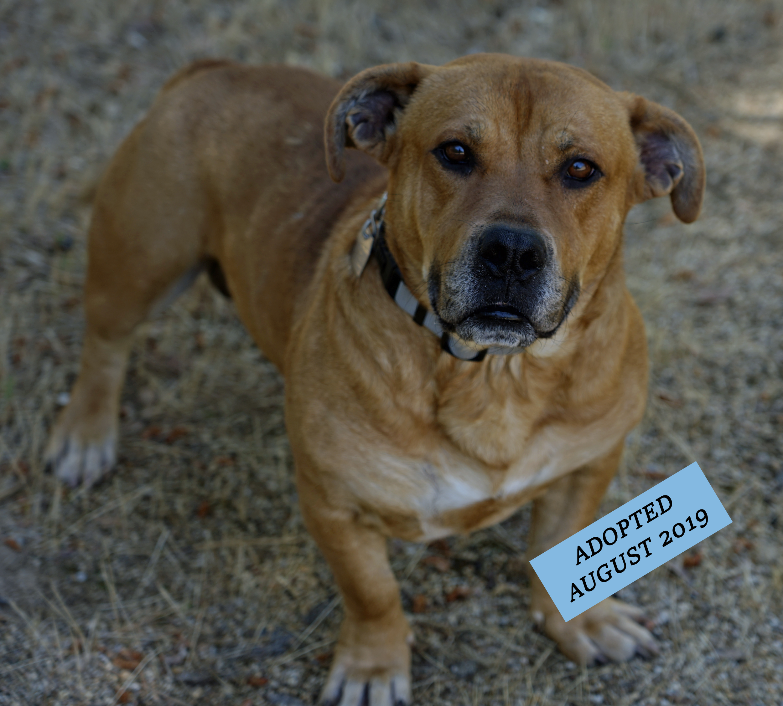 conner - Conner came to us on May 22, 2019 from Kern County Animal Services. He was picked up by animal control running stray on the East side of Bakersfield a few weeks prior to us meeting him. He is super sweet and friendly with everyone he comes in contact with. He tends to move at his own pace, which is slow. He is potty trained and has done fantastic in his kennel here at Shadow Ranch. He loves to play with Billie in the yard whenever he gets the chance.