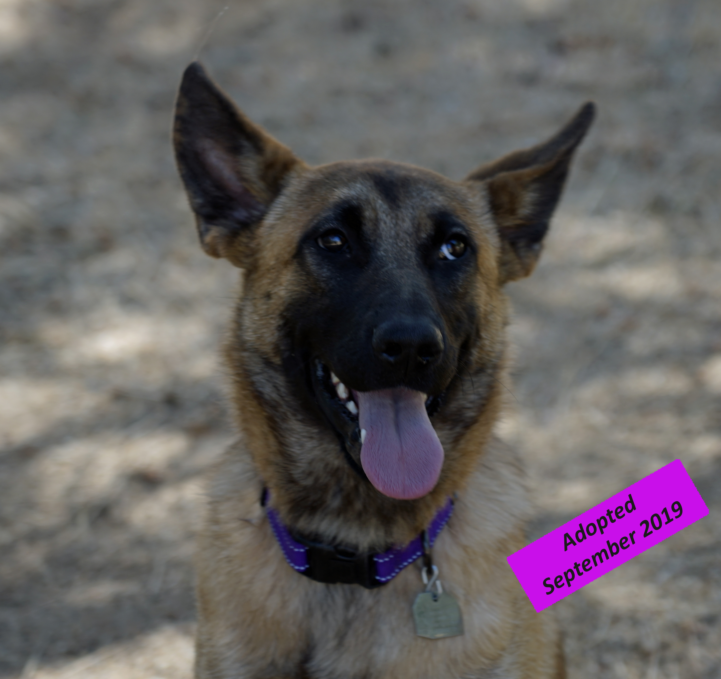 Billie - Billie came to us on May 7th 2019 from Kern County Animal Services. At just about 18 months old she is as sweet as can be. We believe that she is a Belgian Malinois mix. We pulled her during Give Big Kern and she is named after Billy the Give Big Goat to honor such a wonderful program hosted annually for local nonprofit organizations. Billie loves people and is getting more comfortable and confident around dogs everyday. We are working on her jumping but she is already potty trained and crate trained.