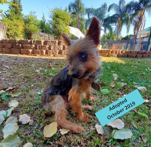 gary - Gary came to us on August 27, 2019 from Kern County Animal Services. Gary is a 14 year old Yorkie picked up as a stray by Kern County Animal Services. He might be both deaf and blind and toothless but he still