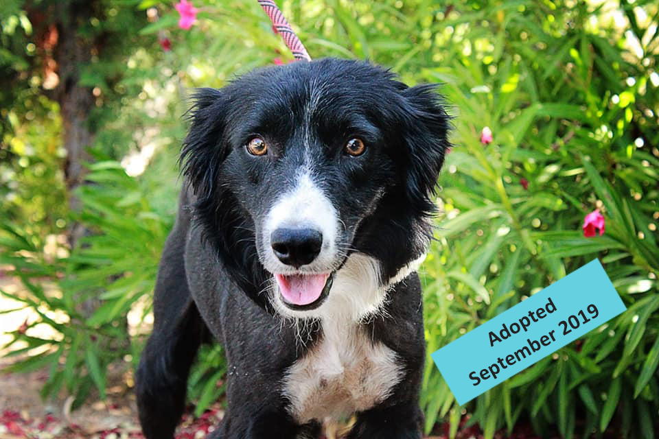 Von - Von came to us from Kern County Animal Services on 7-26-19. He had been picked up by animal control the week before near Hart Flat. His coat was overgrown and embedded with foxtails and goat heads, he was emaciated and scared. This 3 year old Border Collie is coming out of his shell as each day goes by. Von has the most soulful eyes and has already touched the hearts of every person he's met. He like to play but is pretty laid back for a border collie as he prefers spending most of his time sitting near you and staring into your eyes. He gets along great with dogs of all sizes but definitely prefers for things to stay low energy and calm.