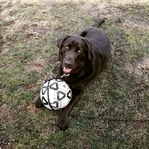 A picture of Dozer with his ball, courtesy of Cortney Skinner.