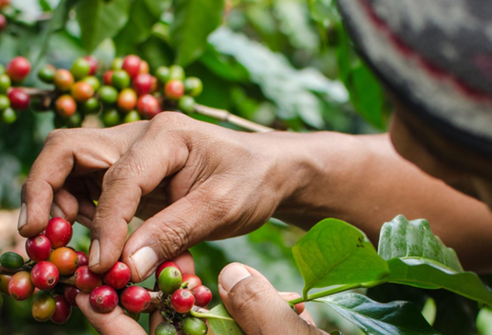 Coffee cherry trees in Ethiopia.