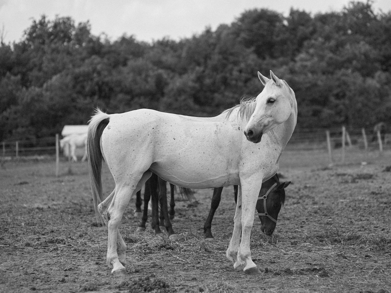 bértartás - A Pilisi Parkerdő és Budakeszi által körül ölelt 40 hektáros füves legelőkön, természetes közegben töltik napjaikat a lovaink.