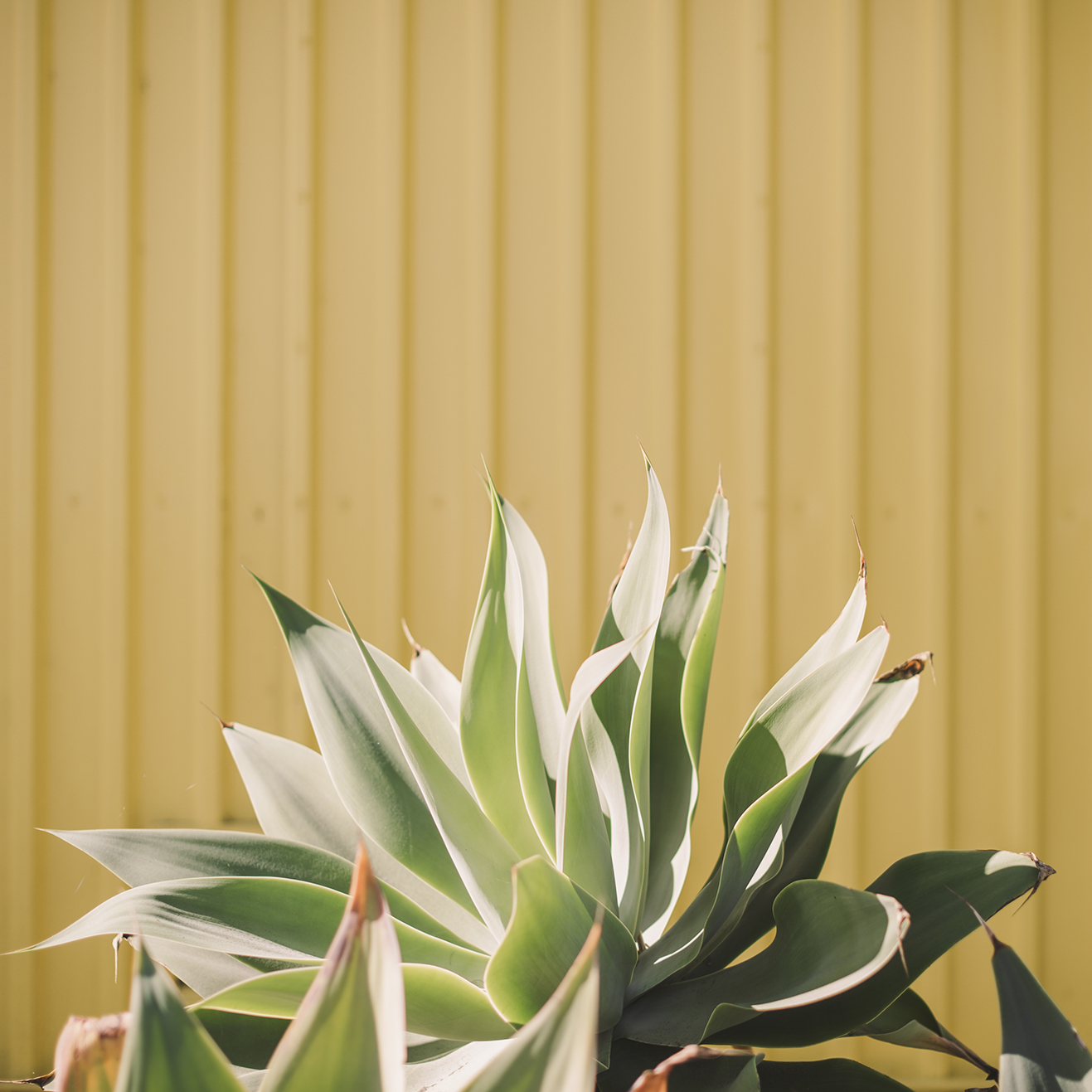 Los-Angeles-Travel-Photographer-Stacey-Lamb-Succulent-Yellow