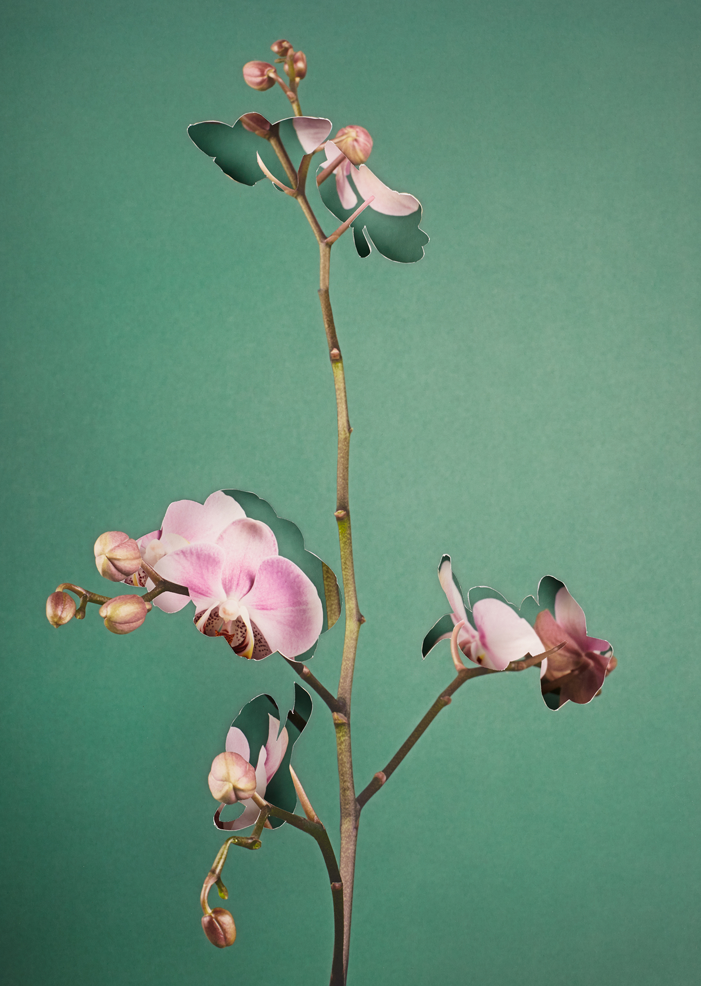 Alma Haser,  Phalaenopsis , 2018  Layered and cut digital pigment prints (2 layers), 47 x 35 cm total (approx. 18.5 x 13.75 in), edition of 7   Inquire