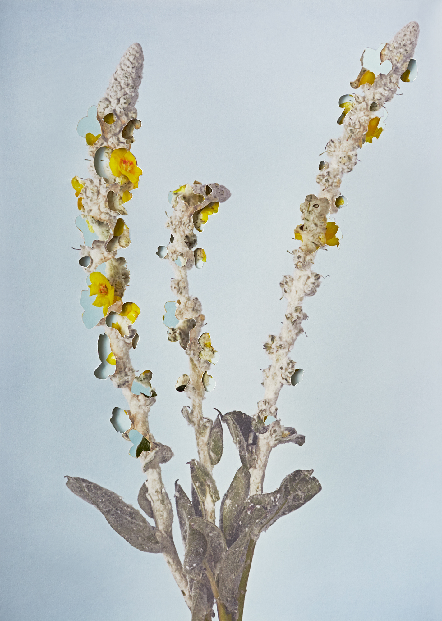 Alma Haser,  Verbascum , 2018  Layered and cut digital pigment prints (2 layers), 47 x 35 cm total (approx. 18.5 x 13.75 in), edition of 7   Inquire