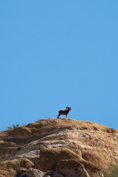 The thin skin of big horn sheep helps to regulate their body temperature during the hot summers. This ram stands on a high, breezy place to cool down.