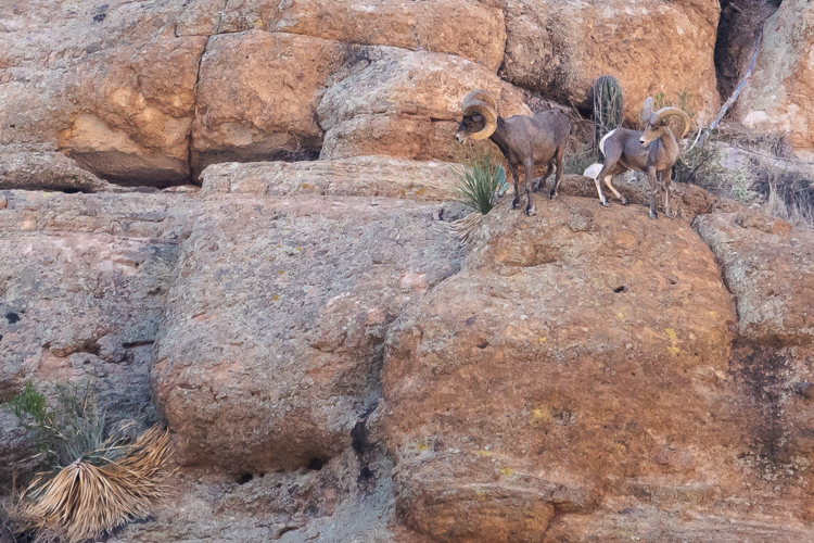 Two rams look for footing on the canyon wall. Both were in pursuit of a ewe to mate. The larger, older ram on the left was successful, the younger one may have to wait another year.