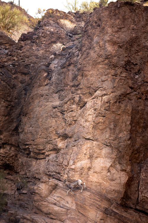 A ewe clatters down the canyon wall.